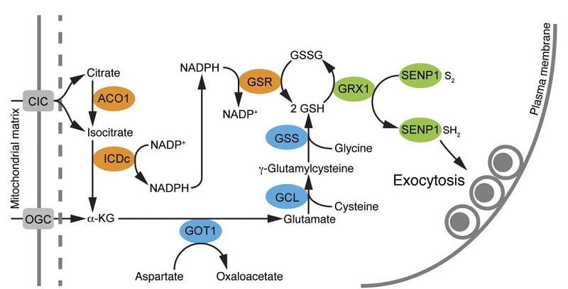 Pancreatic islet–specific knockout of Senp1 blunts insulin secretion due to an impaired amplification of exocytosis. Proposed pathway linking mitochondrial export of (iso)citrate, glutathione biosynthesis (blue), and glutathione reduction (orange) pathways to the amplification of insulin exocytosis (yellow). Isocitrate-to-SENP1 signaling amplifies insulin secretion and rescues dysfunctional β cells. MacDonald et al 2015.