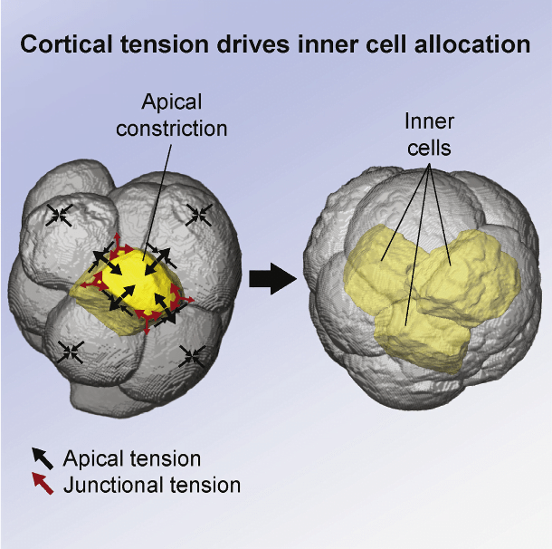 Every cell in our body originates from the pluripotent inner mass of the embryo, yet it is unknown how biomechanical forces allocate inner cells in vivo. Here we discover subcellular heterogeneities in tensile forces, generated by actomyosin cortical networks, which drive apical constriction to position the first inner cells of living mouse embryos. Myosin II accumulates specifically around constricting cells, and its disruption dysregulates constriction and cell fate. Laser ablations of actomyosin networks reveal that constricting cells have higher cortical tension, generate tension anisotropies and morphological changes in adjacent regions of neighboring cells, and require their neighbors to coordinate their own changes in shape. Thus, tensile forces determine the first spatial segregation of cells during mammalian development. We propose that, unlike more cohesive tissues, the early embryo dissipates tensile forces required by constricting cells via their neighbors, thereby allowing confined cell repositioning without jeopardizing global architecture.  Cortical Tension Allocates the First Inner Cells of the Mammalian Embryo.  Plachta et al 2015.