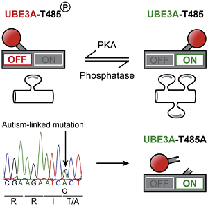 ft unc-scientists-pinpoint-how-a-single-genetic-mutation-causes-autism-neuroinnovations