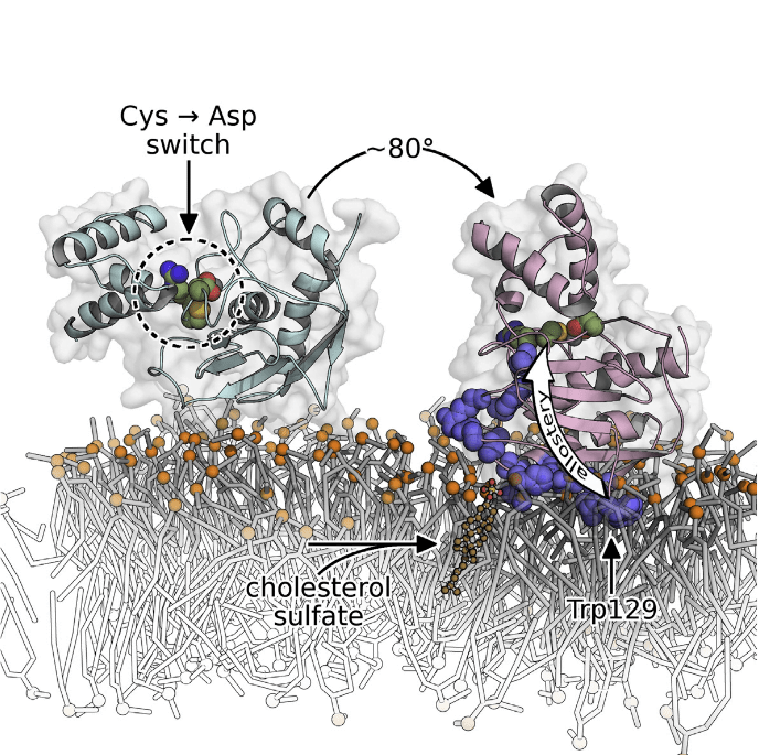 Matrix metalloproteinase-7 (MMP-7) sheds signaling proteins from cell surfaces to activate bacterial killing, wound healing, and tumorigenesis. The mechanism targeting soluble MMP-7 to membranes has been investigated. Nuclear magnetic resonance structures of the zymogen, free and bound to membrane mimics without and with anionic lipid, reveal peripheral binding to bilayers through paramagnetic relaxation enhancements. Addition of cholesterol sulfate partially embeds the protease in the bilayer, restricts its diffusion, and tips the active site away from the bilayer. Its insertion of hydrophobic residues organizes the lipids, pushing the head groups and sterol sulfate outward toward the enzyme's positive charge on the periphery of the enlarged interface. Fluorescence probing demonstrates a similar mode of binding to plasma membranes and internalized vesicles of colon cancer cells. Binding of bilayered micelles induces allosteric activation and conformational change in the auto-inhibitory peptide and the adjacent scissile site, illustrating a potential intermediate in the activation of the zymogen. Charge-Triggered Membrane Insertion of Matrix Metalloproteinase-7, Supporter of Innate Immunity and Tumors. Doren et al 2015.