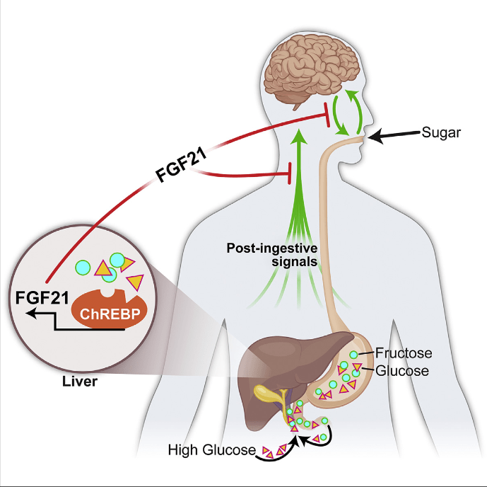 """The liver is an important integrator of nutrient metabolism, yet no liver-derived factors regulating nutrient preference or carbohydrate appetite have been identified. Here we show that the liver regulates carbohydrate intake through production of the hepatokine fibroblast growth factor 21 (FGF21), which markedly suppresses consumption of simple sugars, but not complex carbohydrates, proteins, or lipids. Genetic loss of FGF21 in mice increases sucrose consumption, whereas acute administration or overexpression of FGF21 suppresses the intake of both sugar and non-caloric sweeteners. FGF21 does not affect chorda tympani nerve responses to sweet tastants, instead reducing sweet-seeking behavior and meal size via neurons in the hypothalamus. This liver-to-brain hormonal axis likely represents a negative feedback loop as hepatic FGF21 production is elevated by sucrose ingestion. We conclude that the liver functions to regulate macronutrient-specific intake by producing an endocrine satiety signal that acts centrally to suppress the intake of """"sweets.""""  FGF21 Mediates Endocrine Control of Simple Sugar Intake and Sweet Taste Preference by the Liver.  Potthoff et al 2015."""