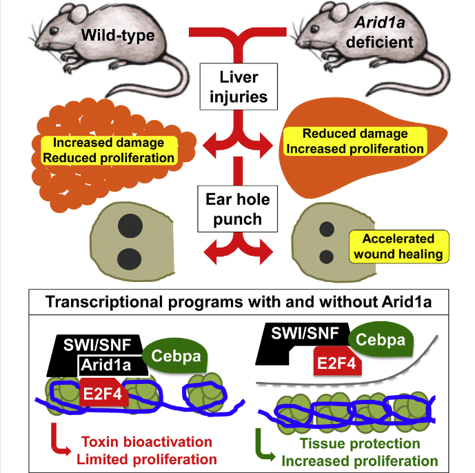 Mammals have partially lost the extensive regenerative capabilities of some vertebrates, possibly as a result of chromatin-remodeling mechanisms that enforce terminal differentiation. Here, we show that deleting the SWI/SNF component Arid1a substantially improves mammalian regeneration. Arid1a expression is suppressed in regenerating tissues, and genetic deletion of Arid1a increases tissue repair following an array of injuries. Arid1a deficiency in the liver increases proliferation, reduces tissue damage and fibrosis, and improves organ function following surgical resection and chemical injuries. Hepatocyte-specific deletion is also sufficient to increase proliferation and regeneration without excessive overgrowth, and global Arid1a disruption potentiates soft tissue healing in the ear. We show that Arid1a loss reprograms chromatin to restrict promoter access by transcription factors such as C/ebpα, which enforces differentiation, and E2F4, which suppresses cell-cycle re-entry. Thus, epigenetic reprogramming mediated by deletion of a single gene improves mammalian regeneration and suggests strategies to promote tissue repair after injury.  Suppression of the SWI/SNF Component Arid1a Promotes Mammalian Regeneration.  Sun et al 2016.