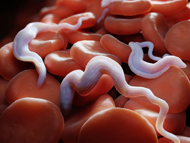 Trypanosoma brucei parasites, which cause the sleeping sickness disease.  Credit: Corbis