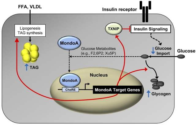"""MondoA directs myocyte fuel homeostatic checkpoint functions.  Proposed gene-regulatory (red arrows) and metabolic """"checkpoint"""" responses (blue arrows) downstream of MondoA. MondoA is a glucose """"sensor"""" that is directly activated by glycolytic metabolites that stimulate nuclear import of MondoA. Once activated, MondoA functions as a """"brake"""" to limit carbon entry into the cell via increasing levels of TXNIP, an inhibitor of insulin signaling and glucose uptake. In addition, MondoA promotes energy storage through activation of enzymes involved in lipid and glycogen synthesis. Thus, MondoA may serve to limit carbon intake and fuel burning during conditions of """"plenty."""" However, in states of chronic nutrient excess, persistent activation of MondoA may become maladaptive, contributing to a vicious cycle of cellular lipid accumulation (TAG synthesis) and insulin resistance (TXNIP-mediated suppressive effects).  MondoA coordinately regulates skeletal myocyte lipid homeostasis and insulin signaling.  Kelly et al 2016."""