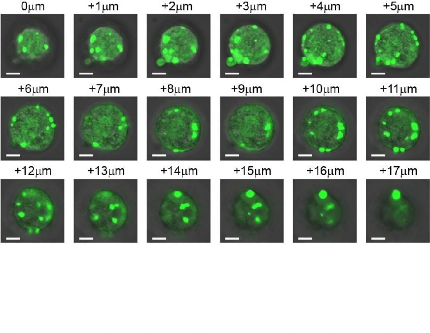 Researchers at Duke University demonstrate a method for controlling the phase separation of the emerging class of proteins, IDPs, to create artificial membrane-less organelles within human cells. The team states their major advance establishes a favorable environment for the inception of astrobiologics capable of modulating existing cell functions or spawning entirely new cellular functions.