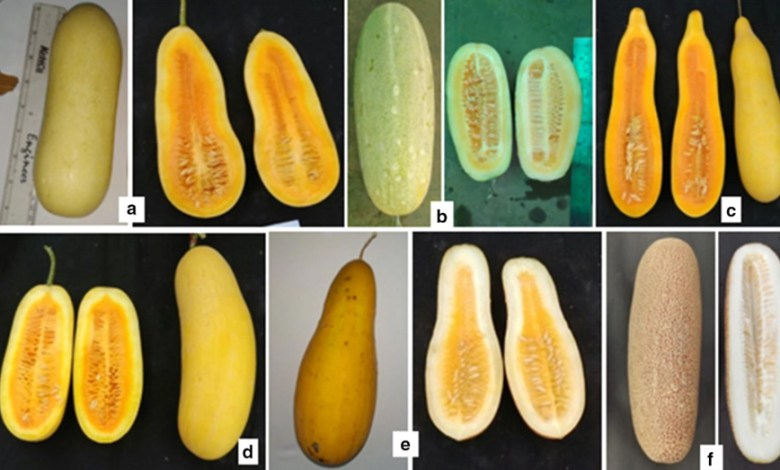 Vitamin A storehouse is the cucumber of the Northeast