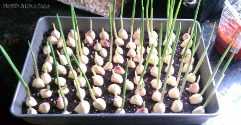 Here's How To Grow an Endless Supply of Garlic at Home