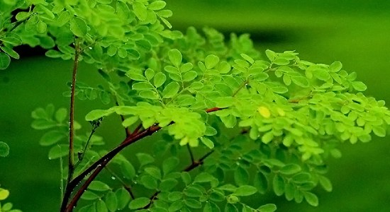Moringa leaves Benefits