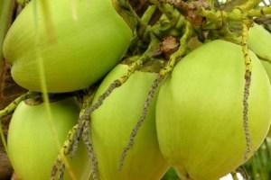 Dab Fruit