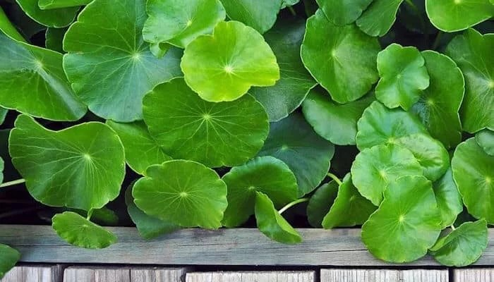 7 shocking health benefits of Gotu kola