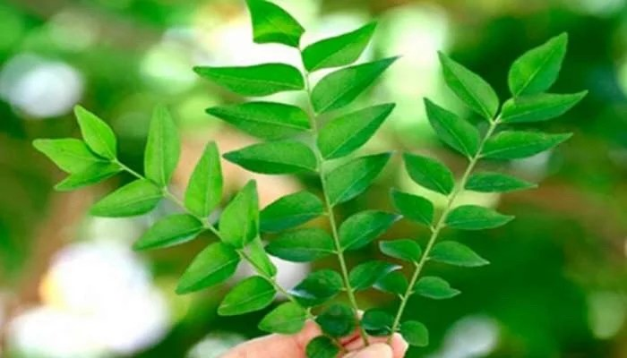 12 Health benefits of curry leaves