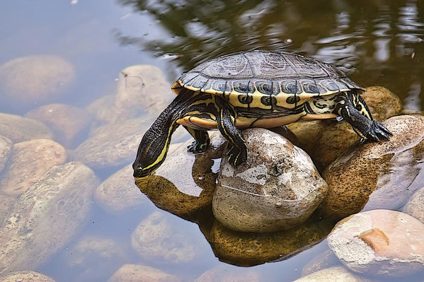 Turtle drinking water in a pond