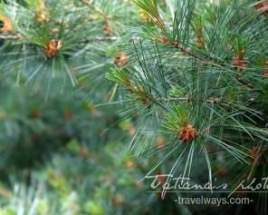 White pine tree, Canada