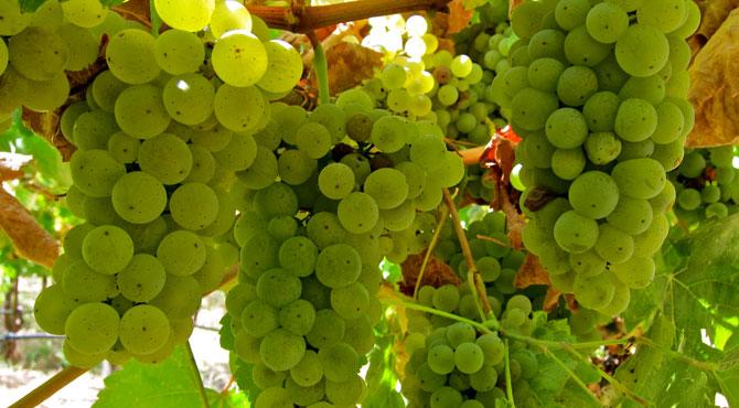 Optima-grapes