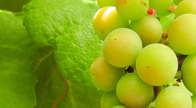 Ortega-grapes
