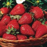 Ever-bearing Strawberries