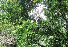 फलदार पौधों को प्रदेश में ही नहीं देश में सप्लाई करती है पचमढ़ी की नर्सरियाँ