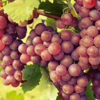 Grapes Work To Reduce Heart Failure Via An Increased Activation Of Antioxidant Producing Genes