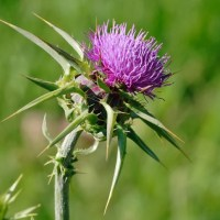 Milk Thistle (Silybum marianum) Benefits, Side Effects, & Silymarin Uses + Research Findings