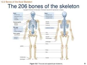 206 Bones of the body diagram