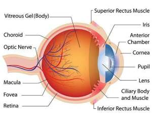 Diagram of the eye | Healthiack