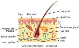 Diagram of the skin