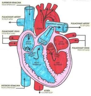 Heart diagram | Healthiack
