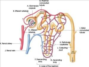 Nephron diagram labeled