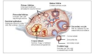 Ovary diagram | Healthiack