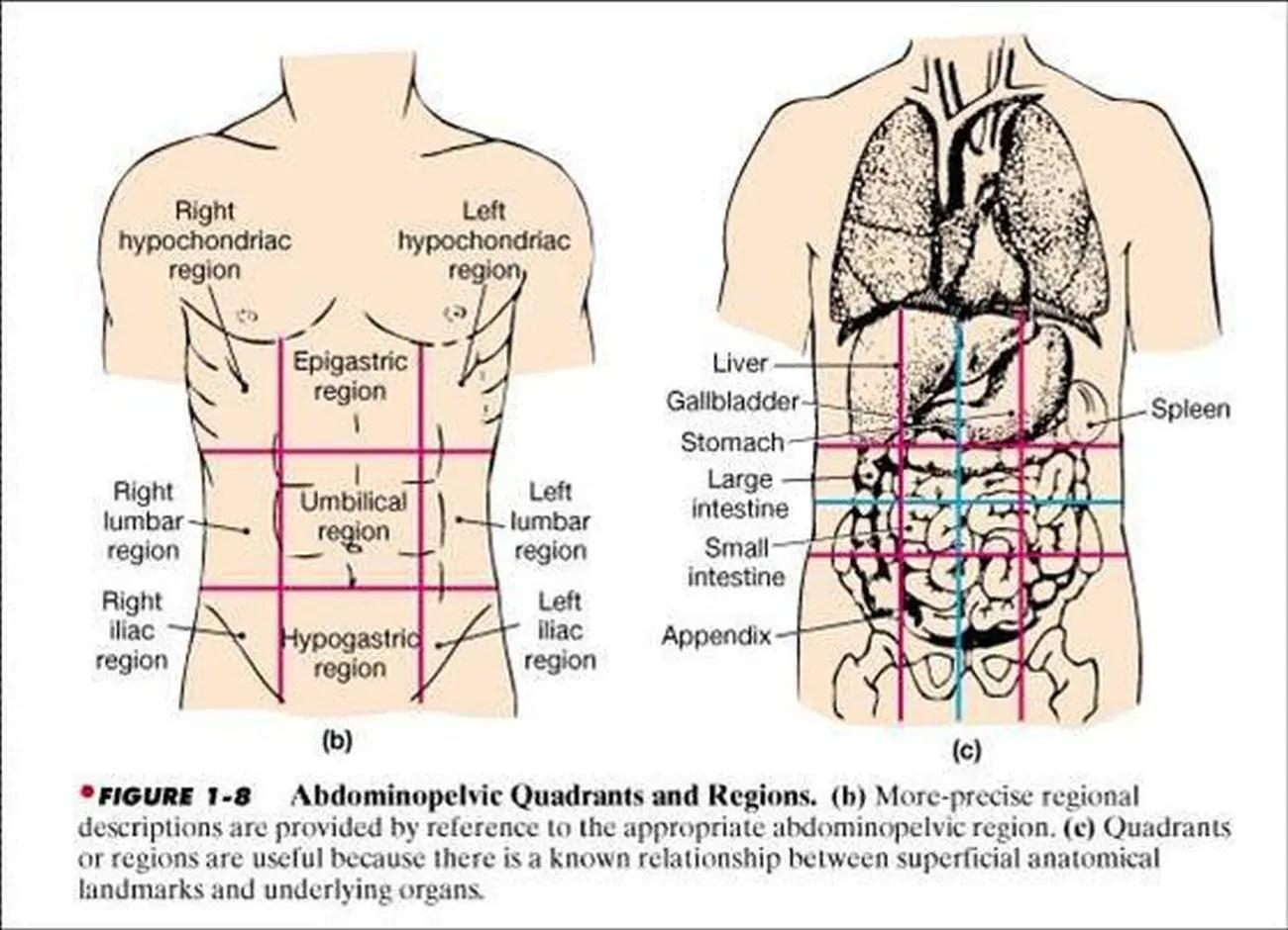 Pictures Of Abdominopelvic Cavity
