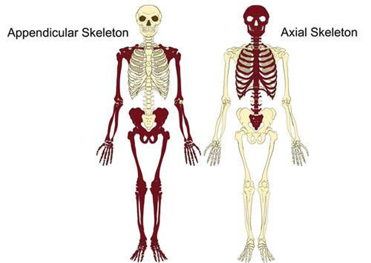 Pictures Of Axial Skeleton