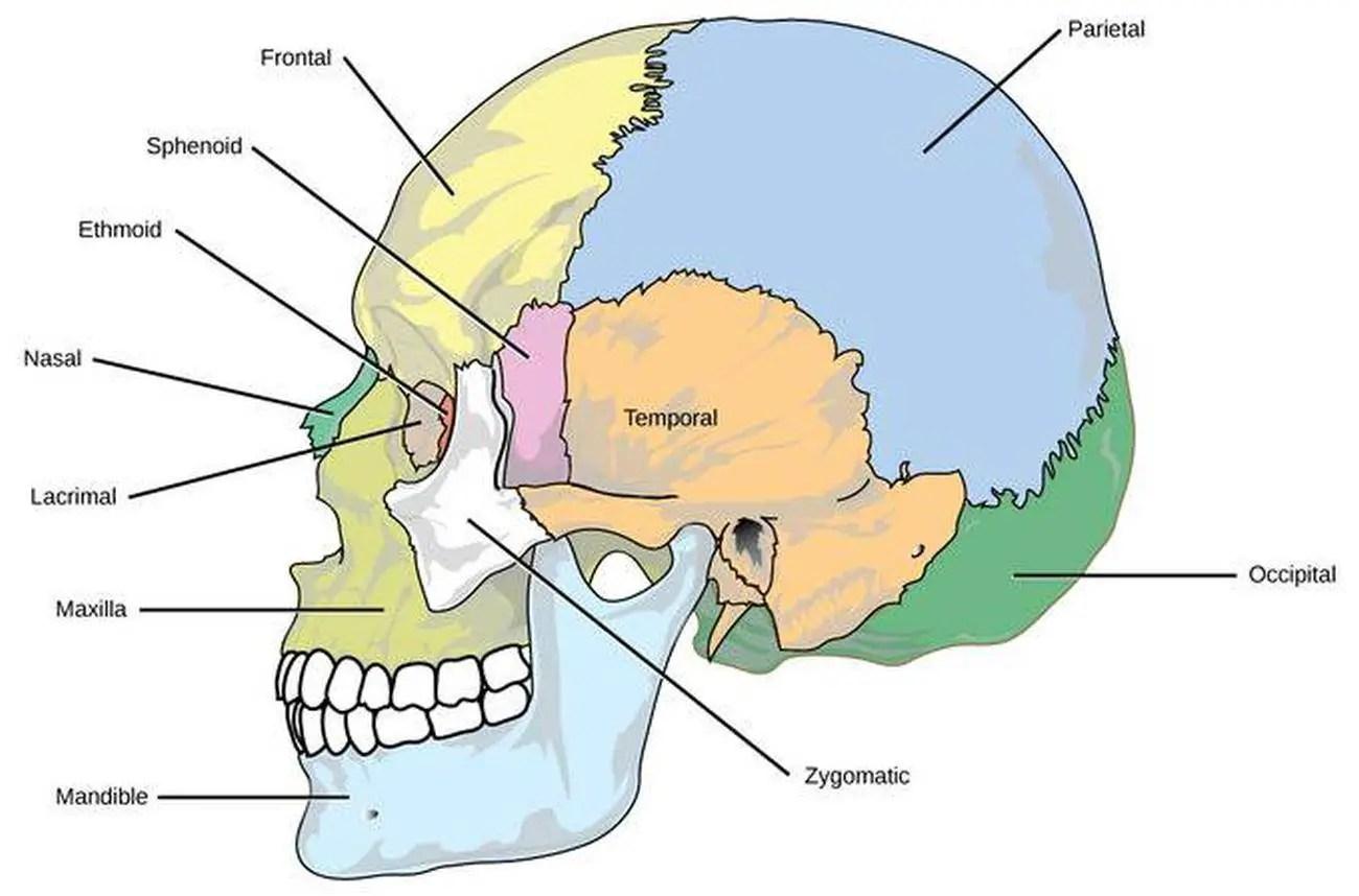 Occipital Bone Worksheet