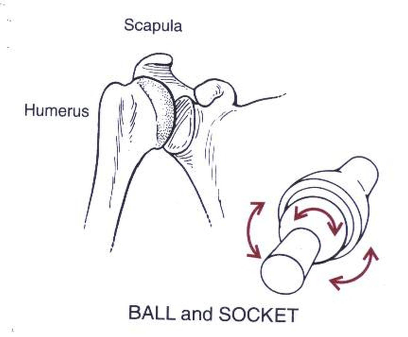 Pictures Of Ball And Socket Jointhealthiack