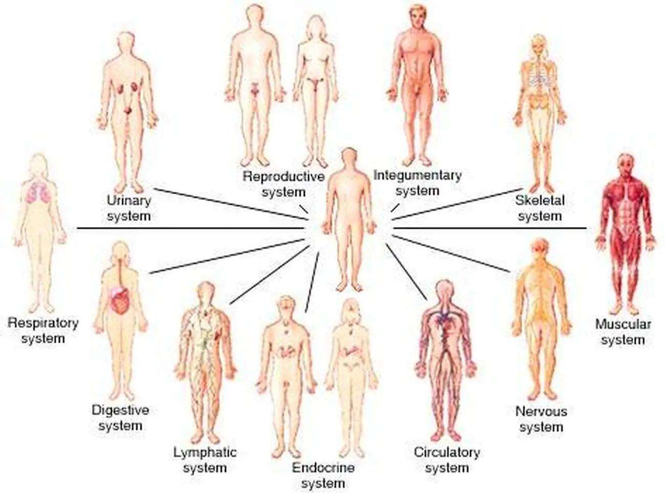 Human Body Organization Worksheet