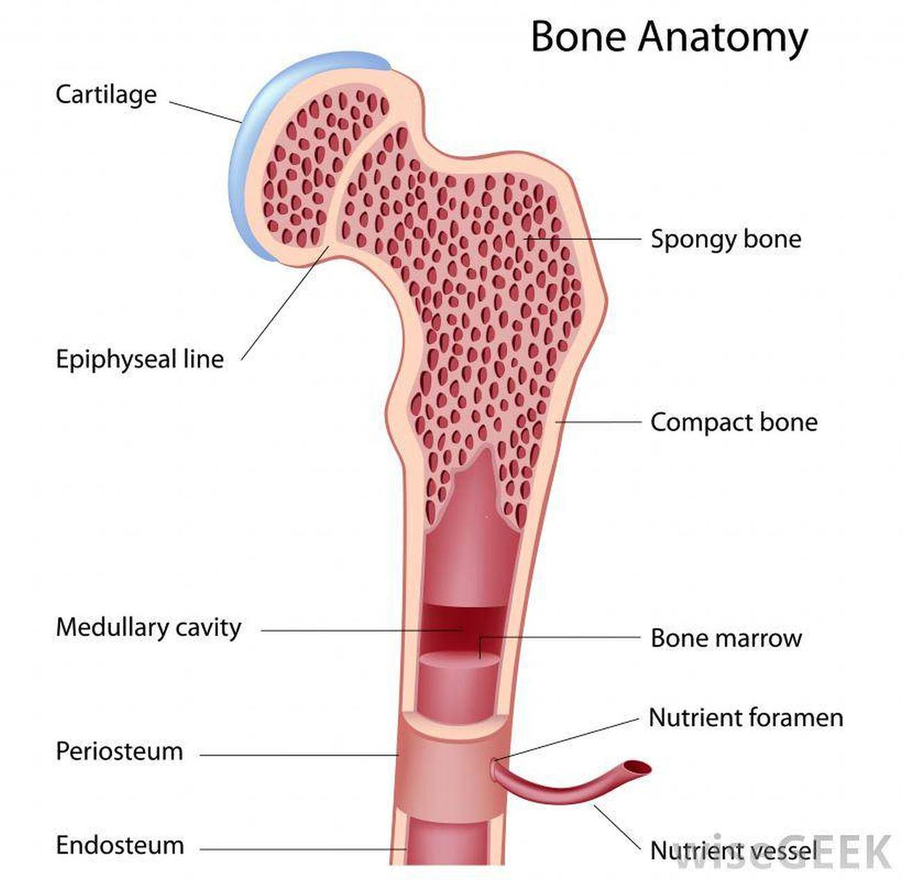 Pictures Of Bone Marrow