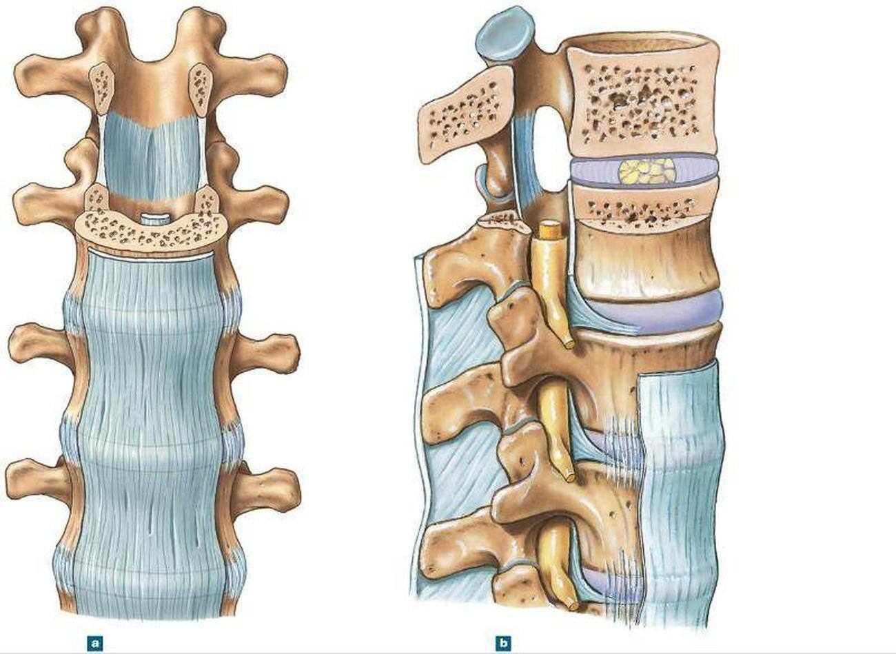 Pictures Of Anterior Longitudinal Ligament
