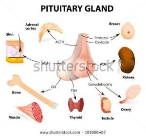 Pituitary gland diagram | Healthiack
