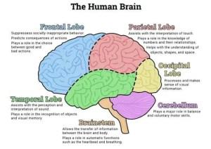 Simple brain diagram
