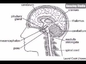 The brain diagram | Healthiack