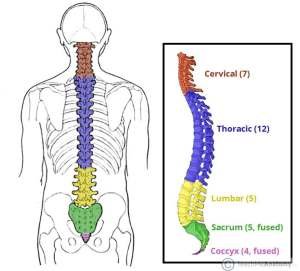 Thoracic vertebrae diagram