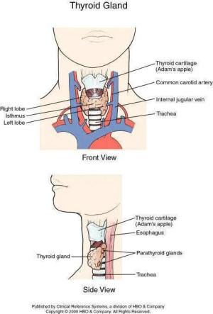 Thyroid diagram