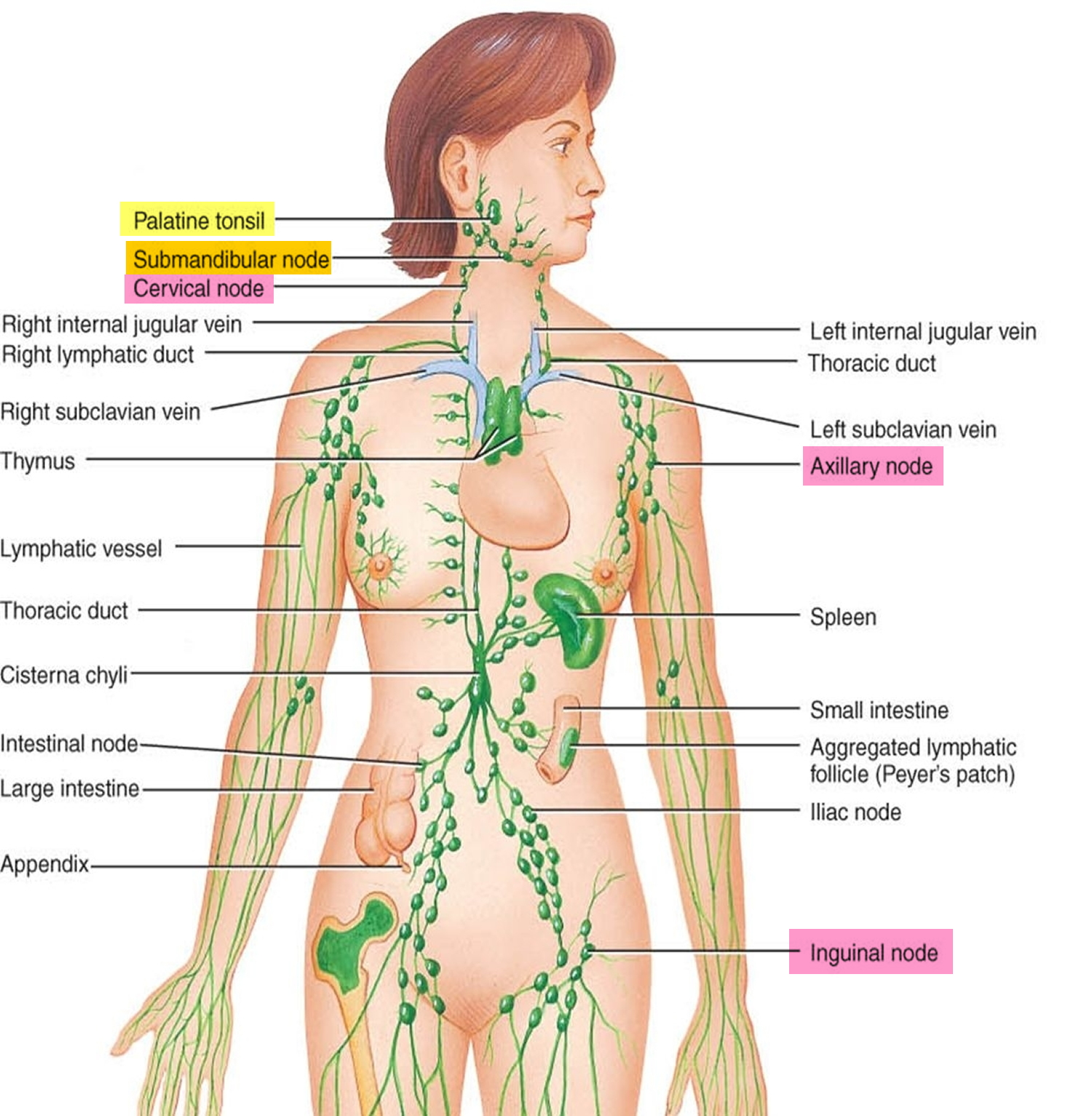Labeld Digestive System