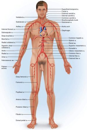 Blood Vessels Types  Layers of Blood Vessels  Carry Blood Away
