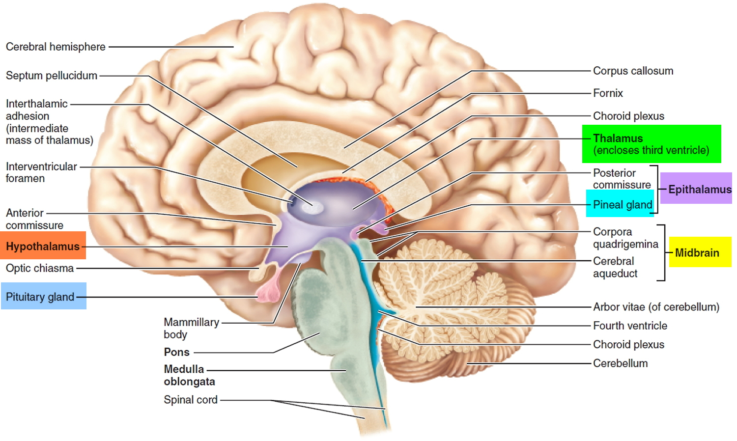 Human Brain Anatomy And Function