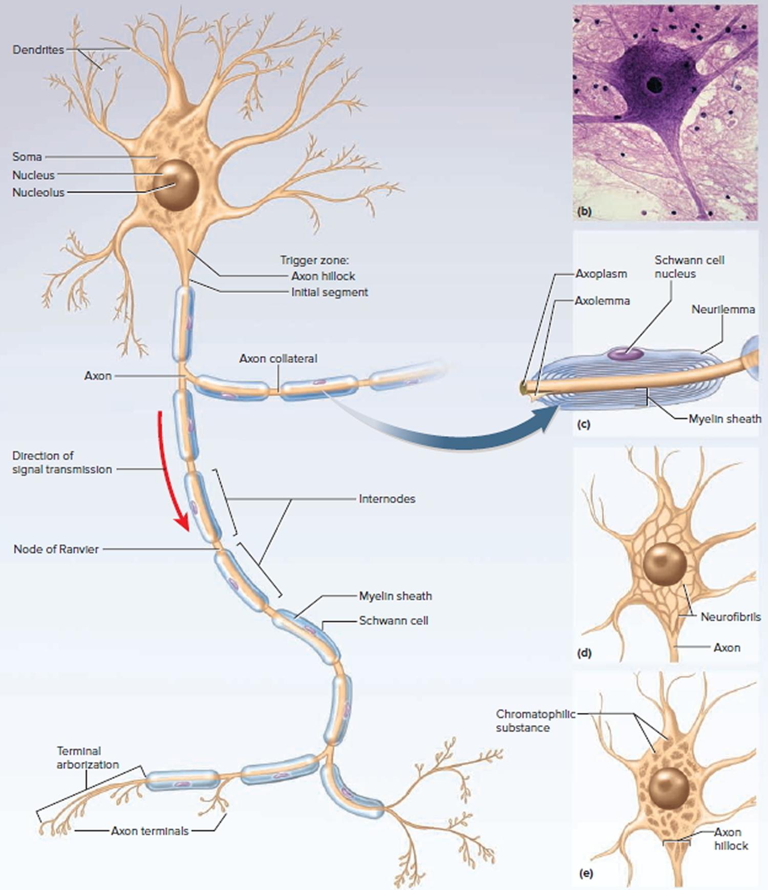 Central Nervous System Diagram Central Nervous System
