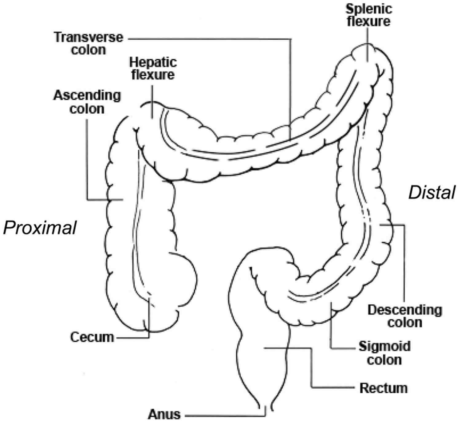 Large Intestine Anatomy Function Location Length And