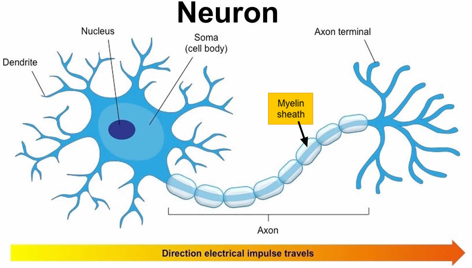 Myelin Myelin Sheath Function Amp Myelin Sheath Diseases