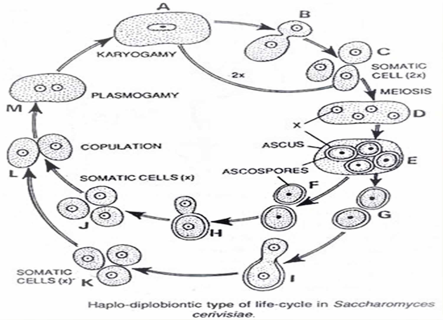 Saccharomyces Cerevisiae Probiotic Lifecycle Uses