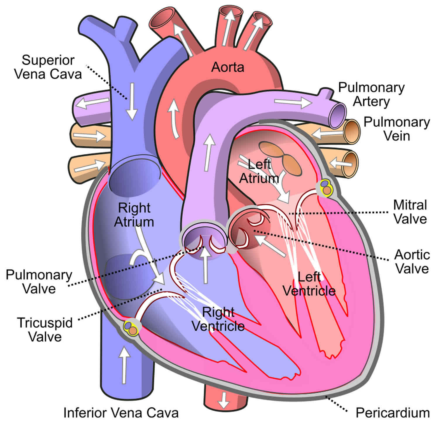 Anatomy S Heart Dog Dog