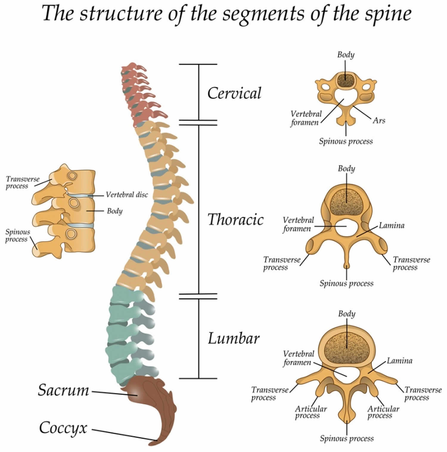 Thoracic Vertebrae Anatomy Function Amp Thoracic Vertebrae